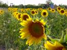 Sunflowers in a Kansas field.