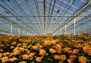Inside a greenhouse growing yellow chrysanthemums.